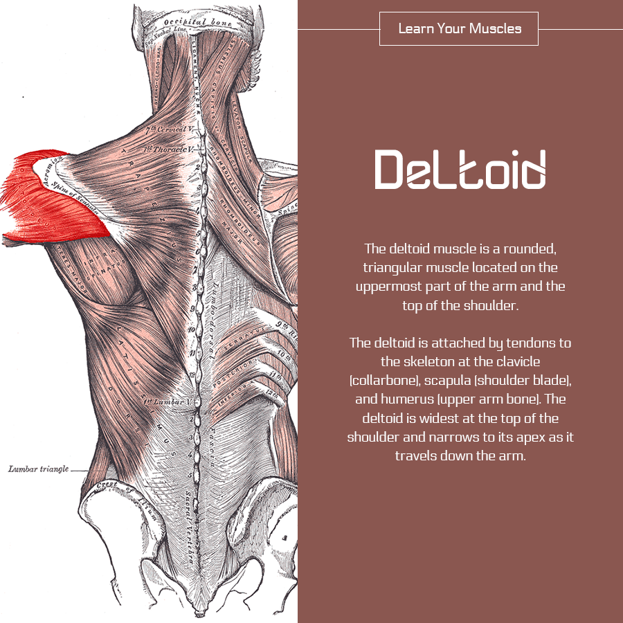 A Healing Touch Pain In The Deltoid Muscle A Healing Touch